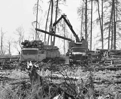 «Экологи» нанимают лесорубов